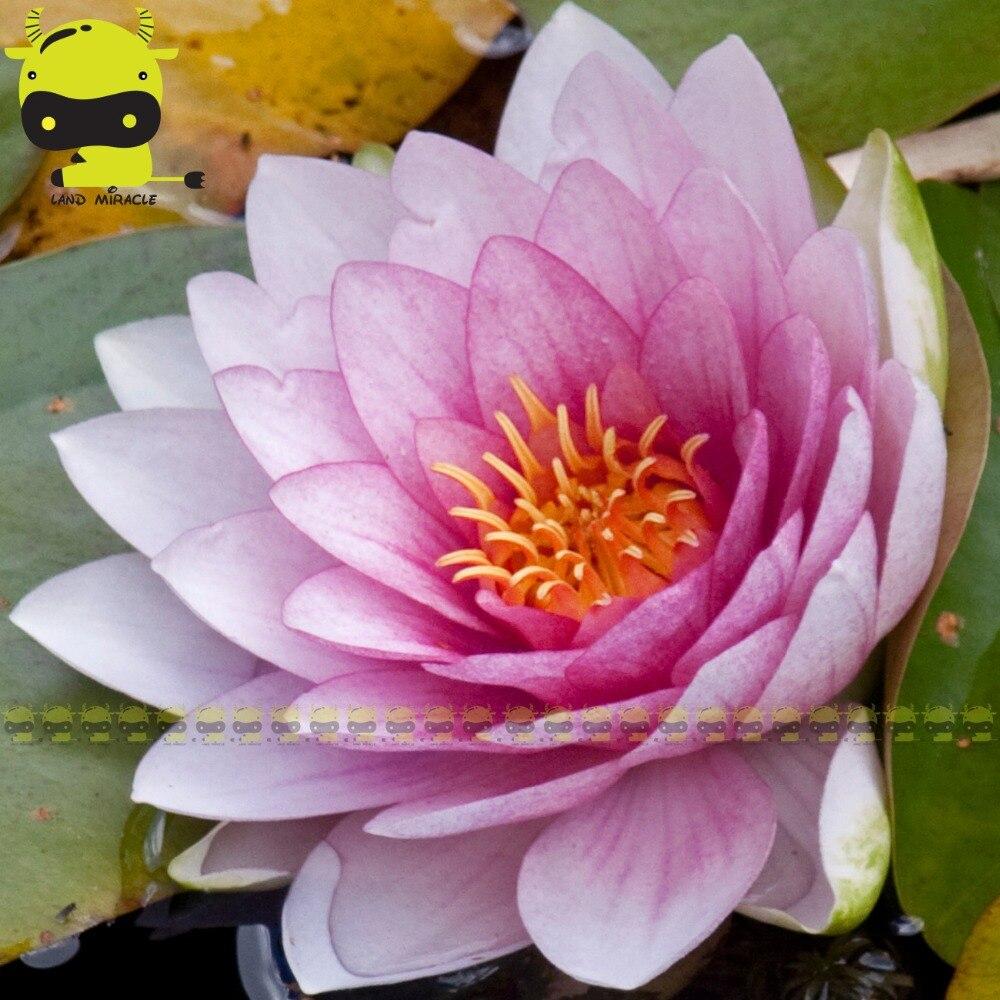 1 Seedspack Giant Lotus Flower Seed New Hybrid Variety Purple
