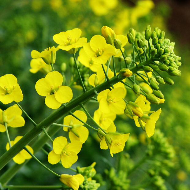Free shipping 200pcs vegetable rape flower seeds edible vegetable oil raw material garden diy plant in bonsai from home garden on aliexpress free shipping 200pcs vegetable rape flower seeds edible vegetable oil raw material garden diy plant in bonsai from