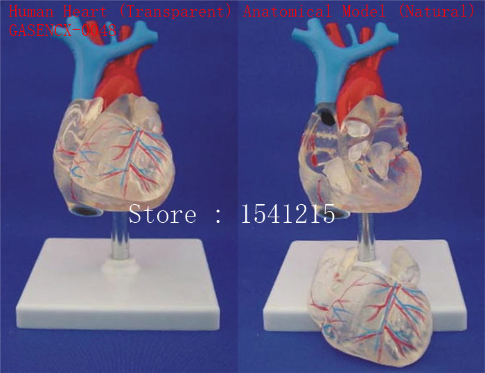Heart model Teaching medical model Body specimen model Human Heart (Transparent) Anatomical Model (Natural) - GASENCX-0048 organ anatomical model teaching medical human body specimen model human lung anatomical model 4 parts gasencx 0055