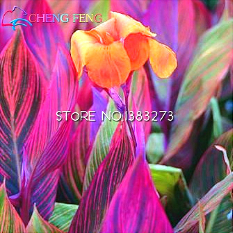 10 Pcs Canna Seeds Beautiful Flower Seed Mix Indica Lily Plants Garden  Bulbs Flowers Outdoor Potted