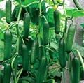 20 cucumber seeds red yellow white cucumber seven kinds of choices balcony garden fruits and vegetables