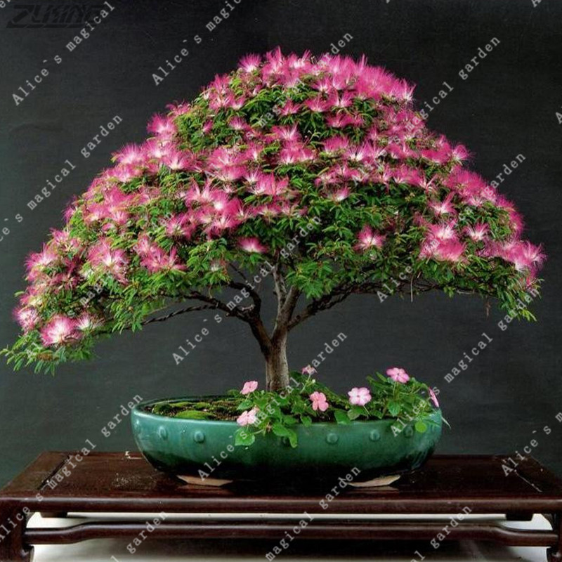 ZLKING Bonsai Albizia Julibrissin Beautiful Flower Acacia Seeds Acacia Wood Flower Seed Home Garden Plant Pot 50 seeds/bag
