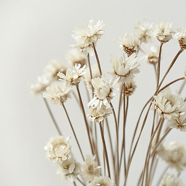 Online shop 50pcslot natural dried flowers fresh white star flowers 50pcslot natural dried flowers fresh white star flowers beautiful homecoffee shop decorative display flowers mightylinksfo