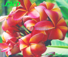 7 15inch Rooted Plumeria Plant Thailand Rare Real Frangipani Plants no97 fruit salad