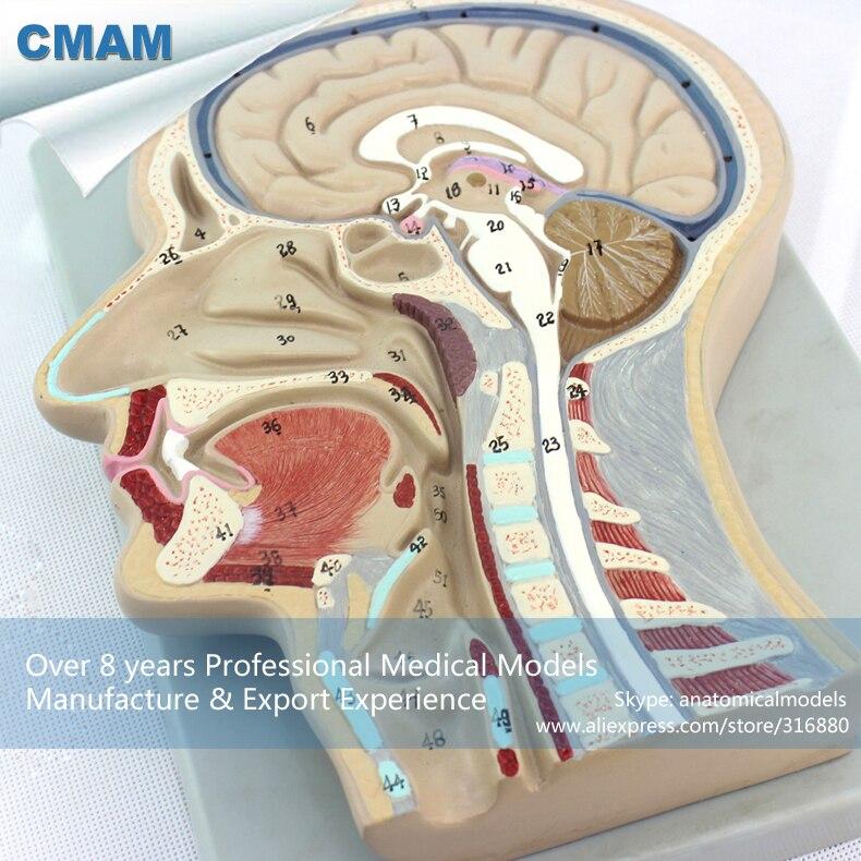 12399 CMAM BRAIN02 Human Section Head Brain Anatomy Model, Medical ...