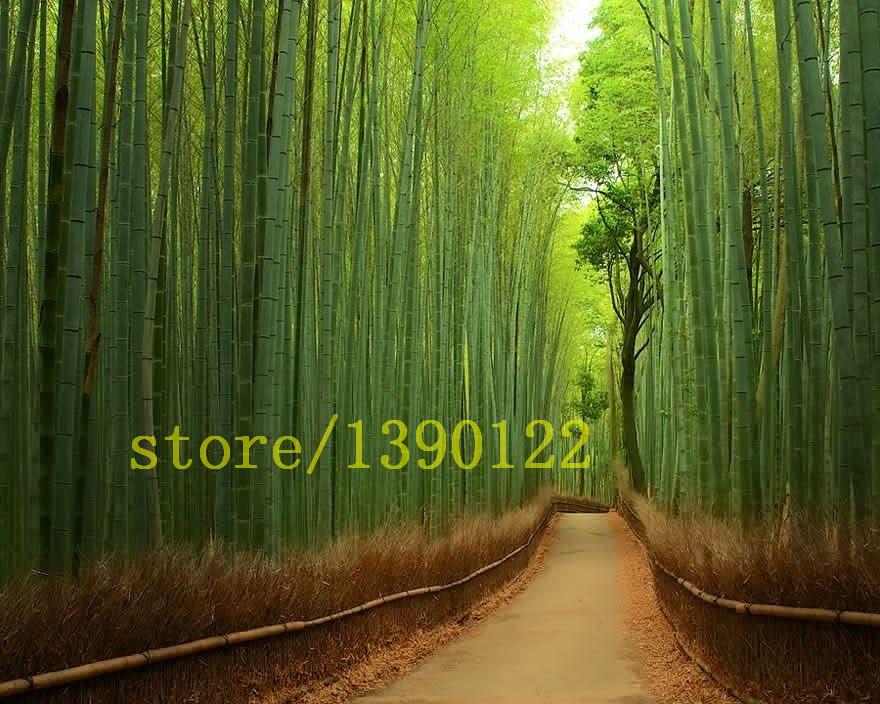 pcs de bambu moso gigante fresco bambu moso sementes de rvores plantadas ptiochina