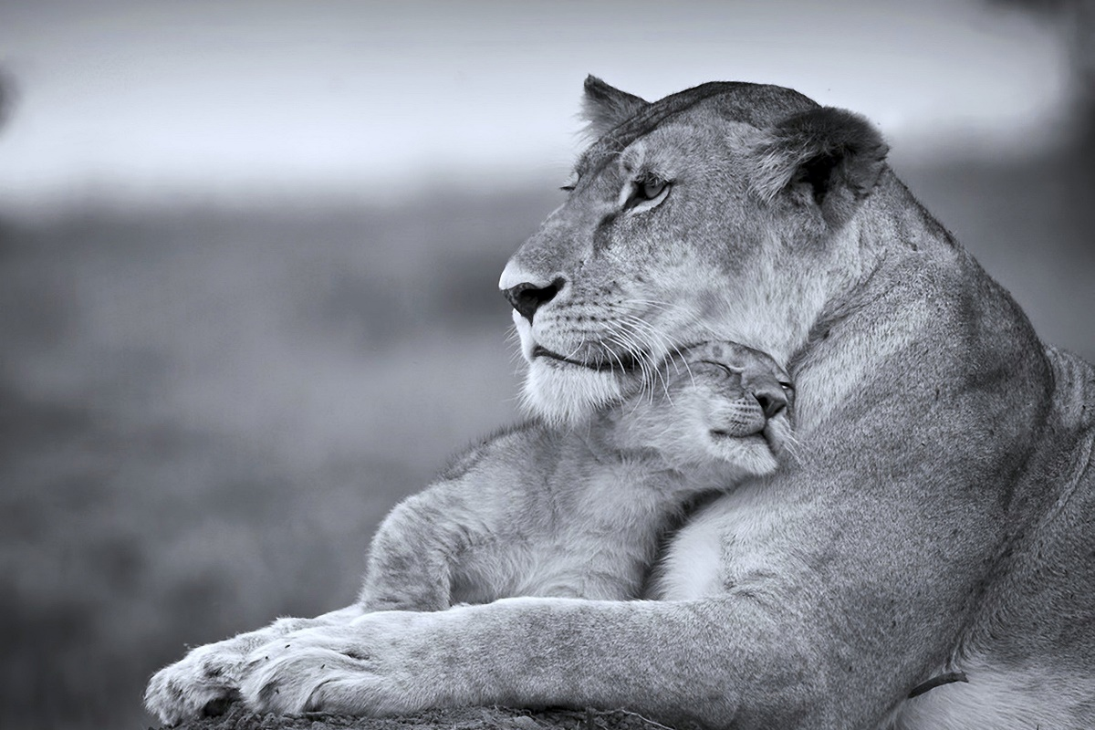 cats wild Lioness mother cub Predators animales life Tenderness KD151 living room home wall art decor wood frame fabric posters