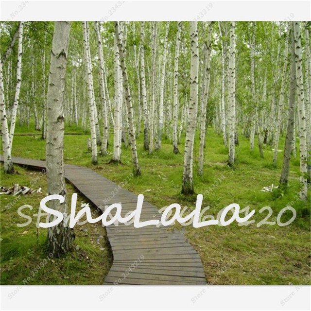 White Birch Tree Seed Betulaceae Hardwood 100pcs