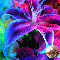 2pcs / Bag Rare Blue Lily Bulb, Not Lily Potted plant, It Is Bulb, Bonsai Lily Bulb, Pleasant Fragrance, Home And Garden Plants