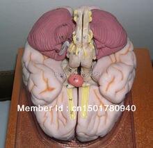 Роскошная модель мозга человеческого