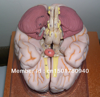 ISO Luxury Brain Anatomical Model,Brain Anatomical Model,Brain Model,Human Brain Model natural size human anatomical brain model colored brain functional are medical tool with base cerebrum cerebellum model pnatomy
