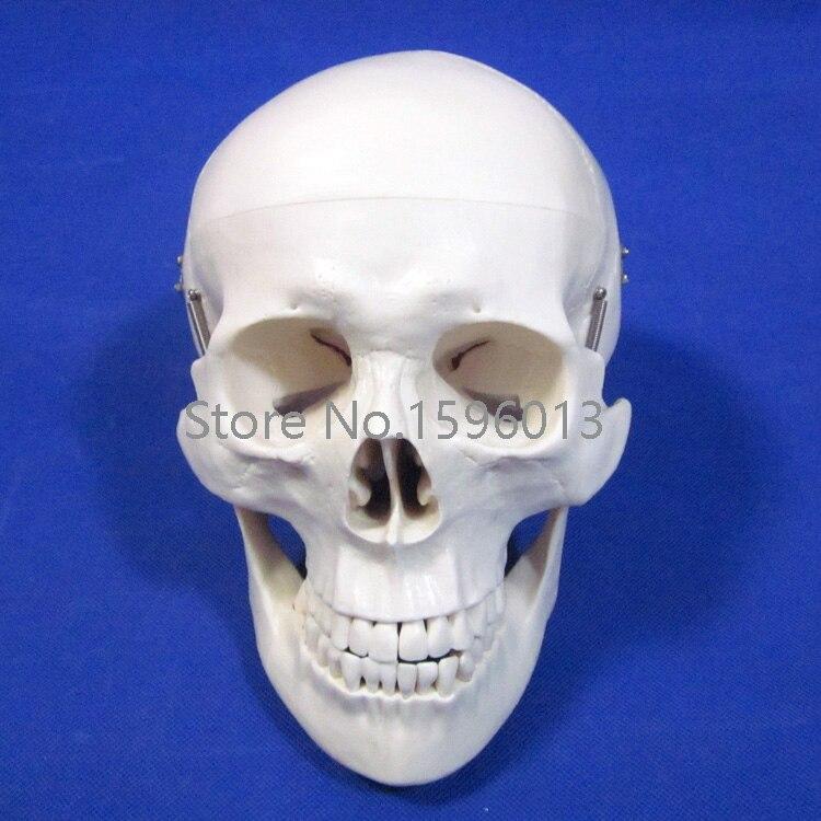 Deluxe Life Size Skull Model Human Skull Anatomy Model In Medical