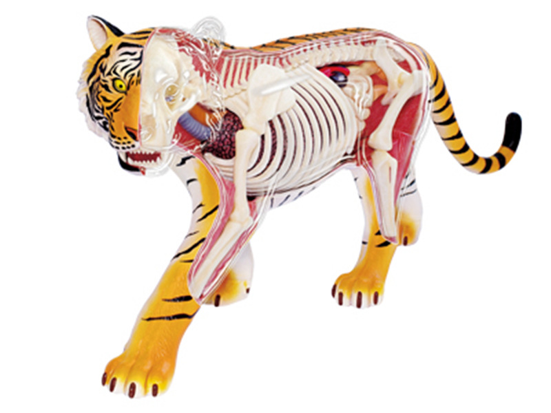 4d Tiger Animal Anatomy Model Skeleton Medical Teaching Aid Laboratory Education Equipment Master Puzzle Assembling Toy