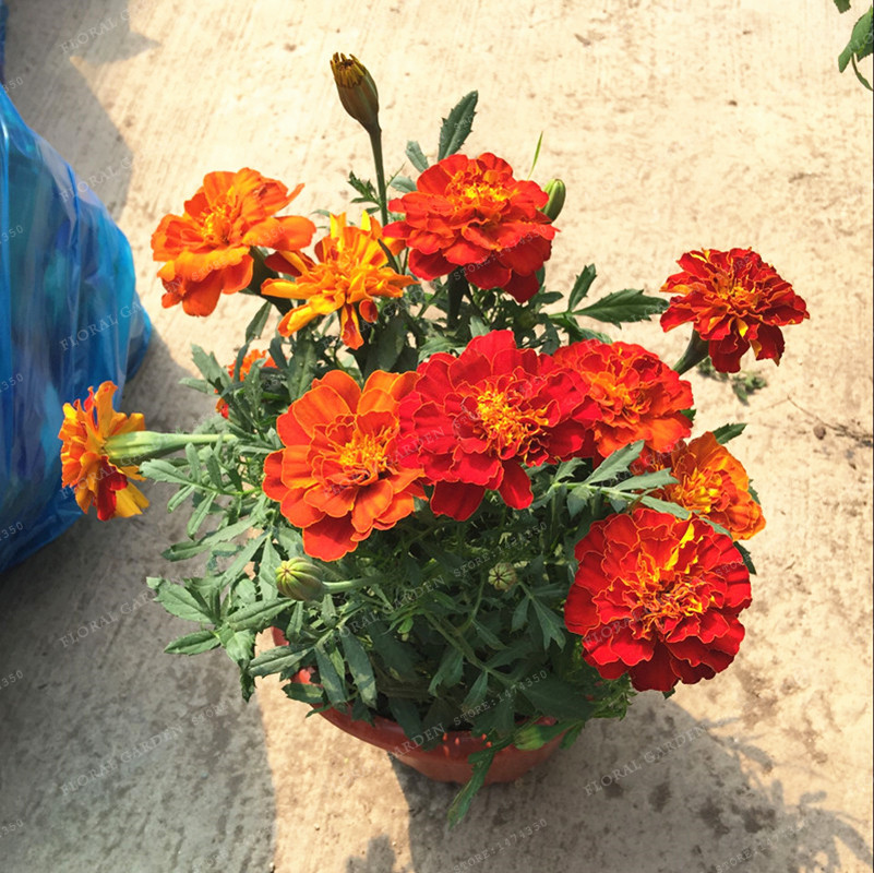 100 pcs TagetespatulaL African Marigold Seeds Osteospermum Ecklonis Flower Half Hardy Perennial for Home Garden Bonsai Plant