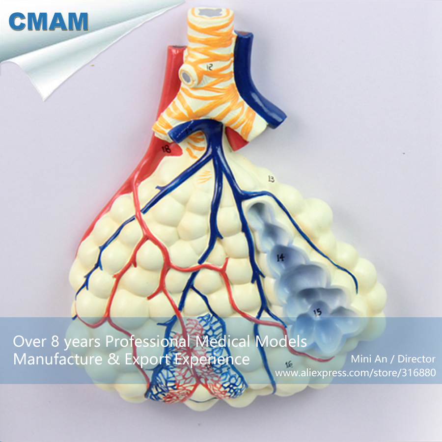 12503 Cmam Lung06 Relief Human Respiratory System Model With