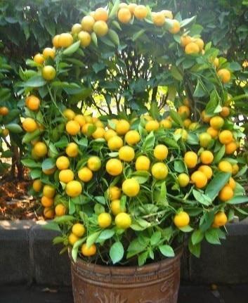 30 Pcs/bag Balcony Patio Potted Fruit Trees Planted Seeds Kumquat Seeds  Orange Seeds Tangerine