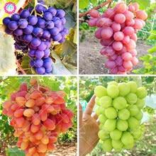 50 шт./пакет виноградных косточек Здоровый органических фруктов и семена естественно растущих винограда многолетники открытый растения в саду