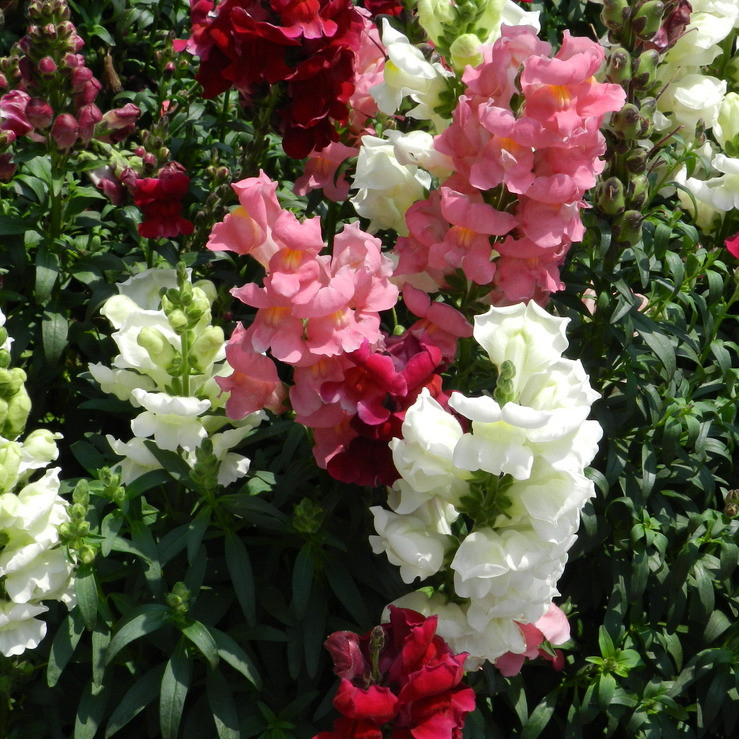 font b Snapdragon b font flower seeds potted seeds all year long flowering shade can