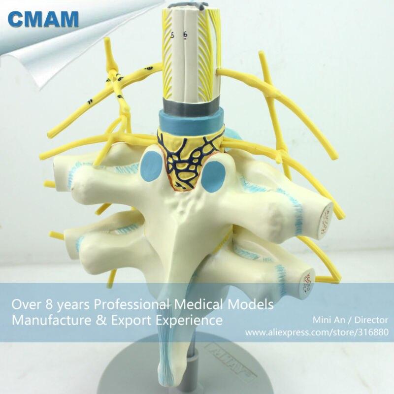 12389 CMAM VERTEBRA06 Vergrößern Spinal Nerven Anatomisches Modell ...