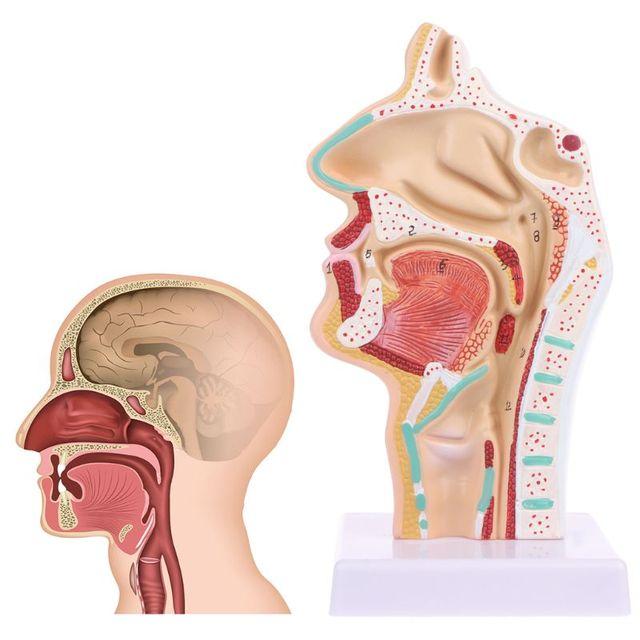Anatomie de la gorge de la cavité nasale anatomique humaine modèle médical outil denseignement papeterie de Science médicale pour lécole