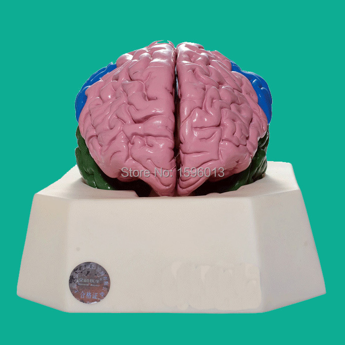 Brain Lobe Model,Brain leaf model, Brain Anatomical Model brain mechanisms 1