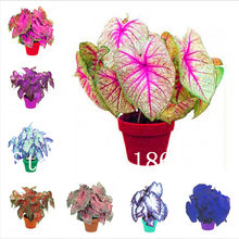 Hot Sale! 100 Pcs Rare Colorful Caladium Bonsai Burnt Rose Elephant Ear Beautiful Bonsai Flower Potted Plants For Home Garden(China)