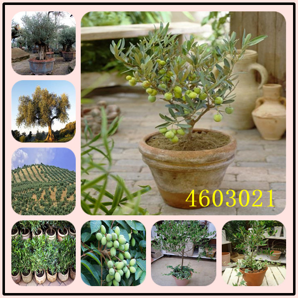 10 Pcs Rare Olive Bonsai Tree Olea Europaea Plant Bonsai Fresh Exotic Tree Plant Mini Olive Tree Olive Bonsai Garden Supplies