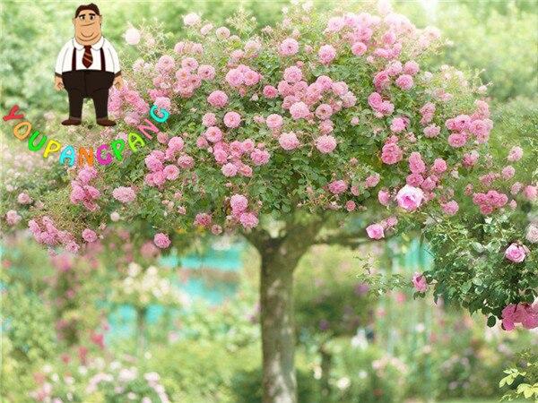 120 Stucke Seltene Blume Rose Baum Samen Diy Hausgarten Topf
