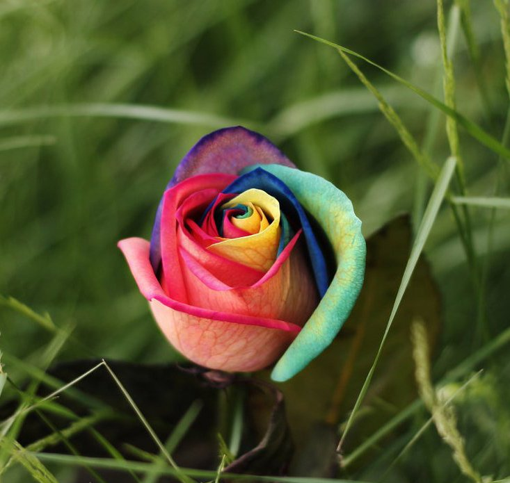 100 seeds rare holland rainbow rose flower seed to your lover mg12