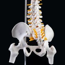 2019新45センチメートル柔軟な人体脊柱椎骨腰椎カーブ解剖モデル解剖脊椎医療教育ツール