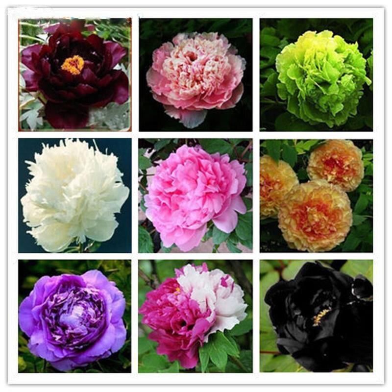 Где купить цветы пионы для посадки спб, цветов израиля