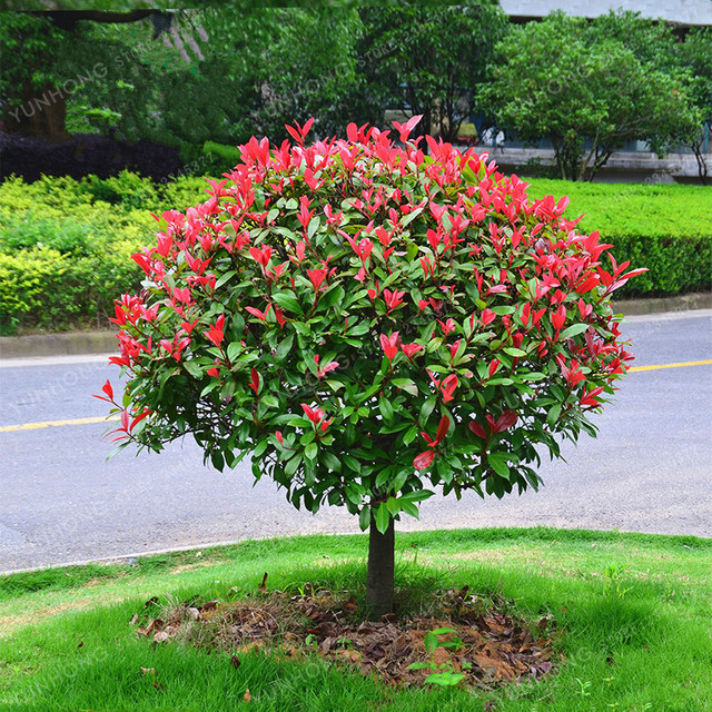 Photinia Serrulata Bonsai 10 Pcs Bag Fraseri Frasery Red Robin Tipluohu Flower For Home Garden