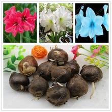 1 bulb/lot Amaryllis Bulbs,Hippeastrum Bulbs,3-5 cm in diameter bonsai flower bulbs Barbados lily bulbous flowers potted plant