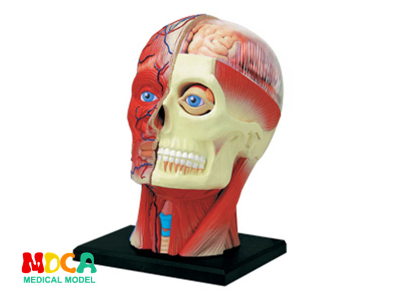 Craniofacial nerve 4d master puzzle Assembling toy human body organ anatomical model medical teaching model organ anatomical model teaching medical human body specimen model human lung anatomical model 4 parts gasencx 0055