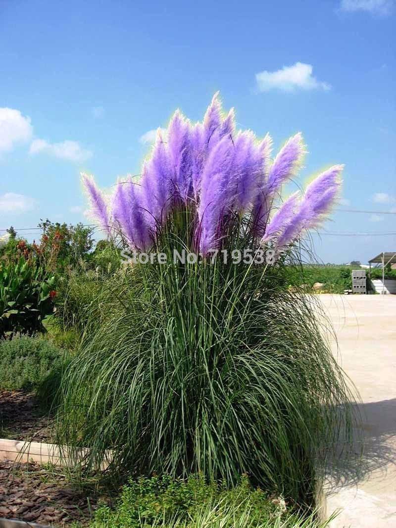 New Grass Rare Purple Pampas Ornamental Flowers Plant Cortaderia