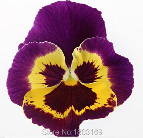 1000PCS novel plant bonsai butterfly iris seeds Phalaenopsis Orchid Flowers Flower seeds Orchid Seed Home Garden