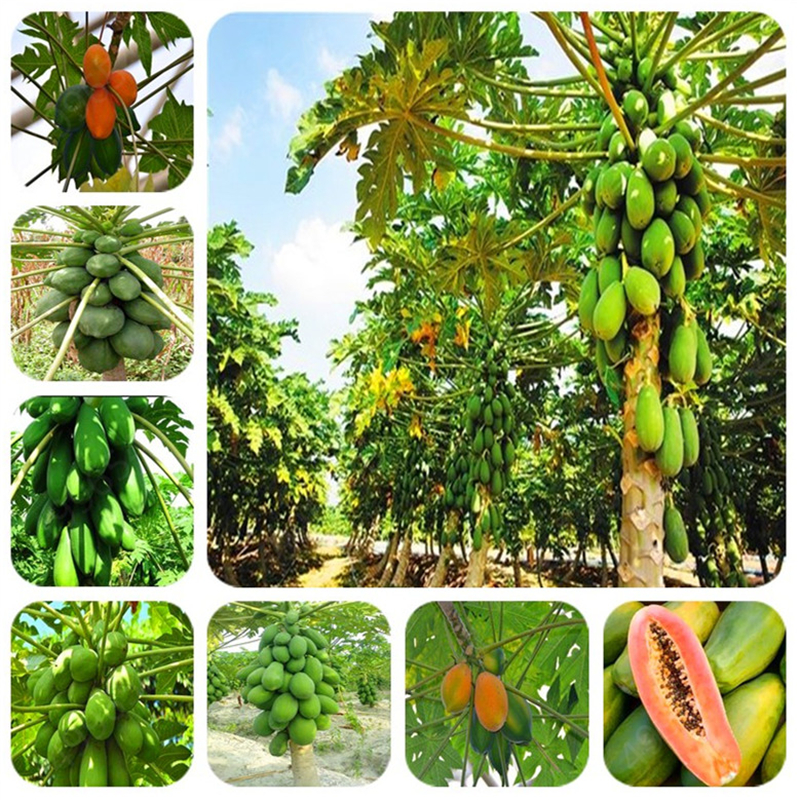 2019 Big Promotion ! 10ps / Bag Dwarf Hovey Papaya Bonsai Sweet Organic Fruit Trees Potted For Home Garden Free Shipping