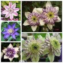 clematis bulbs, clematis seeds mix, clematis hybridas Climbing plants garden landscaping, 10 seeds/bag