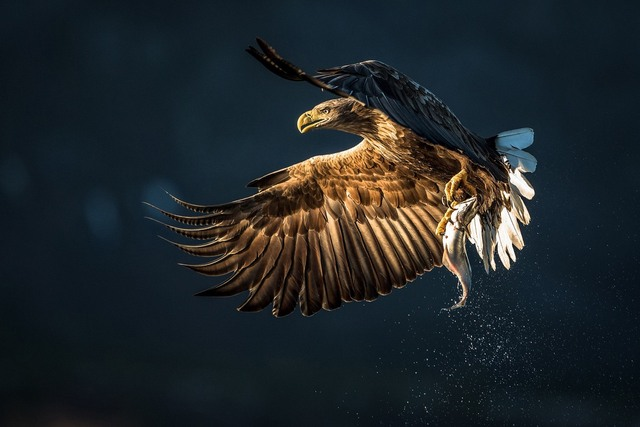 Eagle Catching Fish Artwork Pdw315 Custom Print Canvas Fabric Poster