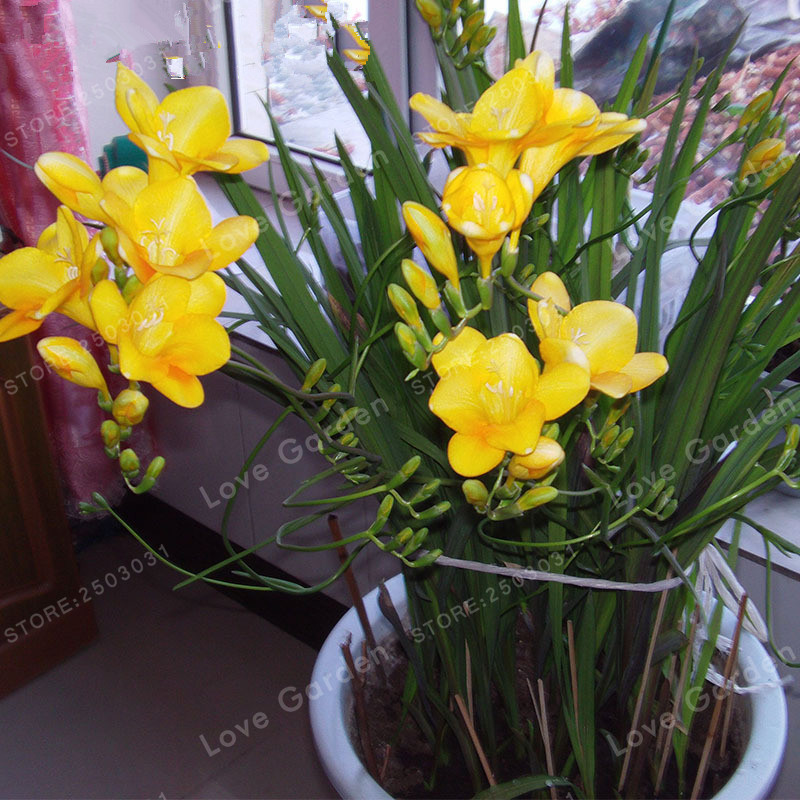 2 bulbs yellow freesia bulbs indoor potted flowers orchidsfreesia 2 bulbs yellow freesia bulbs indoor potted flowers orchidsfreesia rhizome survival rate is high in bonsai from home garden on aliexpress alibaba mightylinksfo