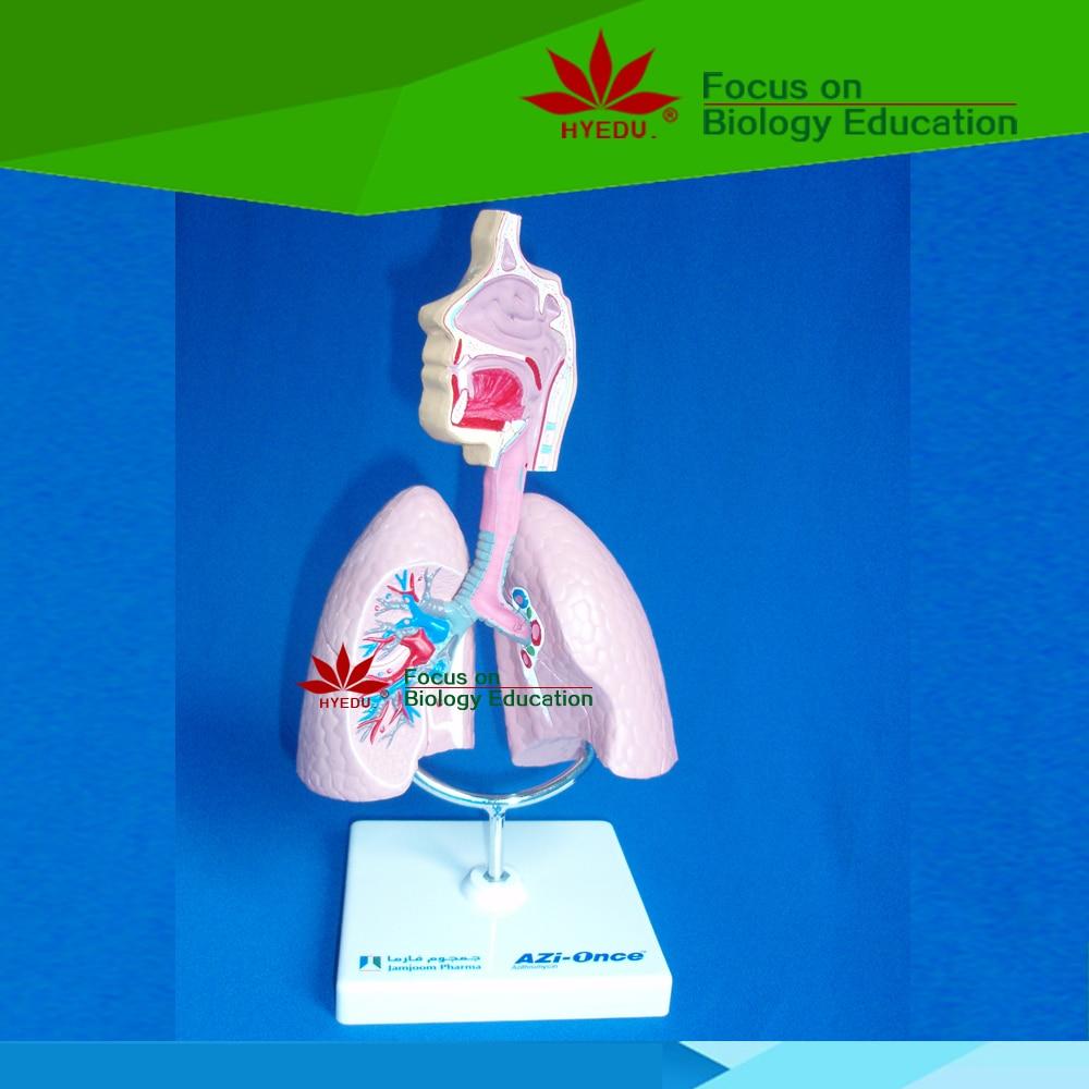 ФОТО Professional manufacturers reputation first  good news    diect factory Anatomical pathology Ashma  model