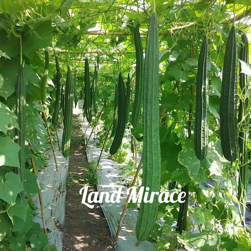 New Angled Luffa Vegetable Loofah Sponges Chinese Okra 10 Fresh Seeds