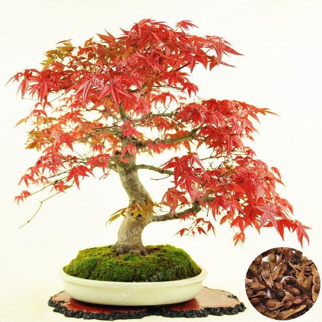 100 Real Acer Palmatum Atropurpureum Bonsai 20 Pcspack Japanese