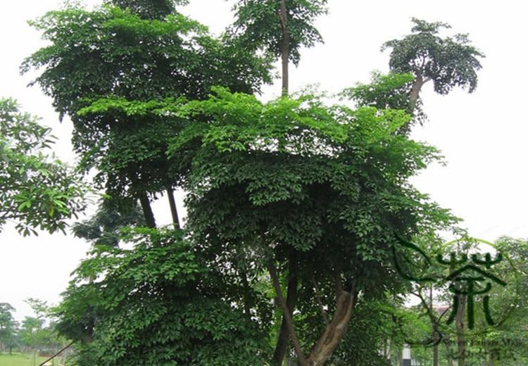 ^^Evergreen Tree China Heteropanax ^^^^ 60pcs, Ornamental Garden Huang San Feng ^^^^, Family Araliaceae Novel Plant Panax ^^^^