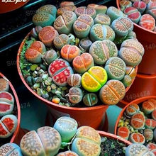 200pcs/bag Lithops Pseudotruncatella garden Living Stone flower flores Rare Succulent plantas Tetragonia potted flowers bonsai p(China)