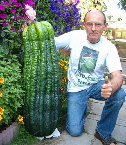 20pcs Giant Cucumber bonsai Vegetable Rare Plants Heirloom the budding Rate 95%