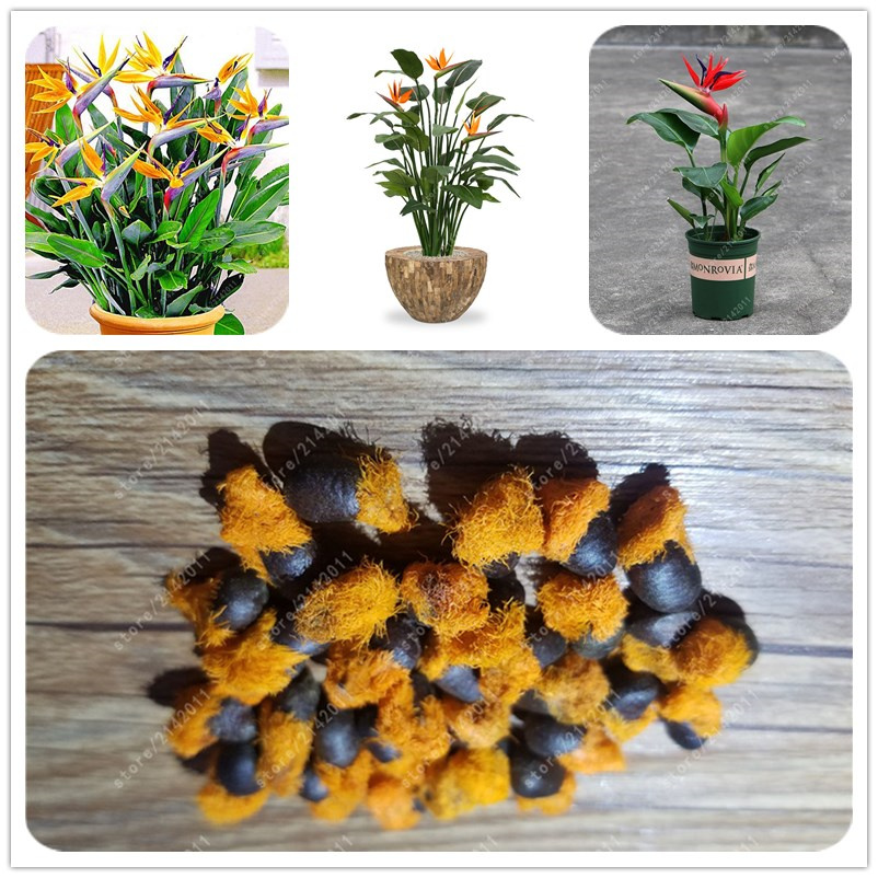 real Strelitzia Reginae Seed Hybrid Bird Paradise Seed Rare Flower Bonsai Plants Seed Home Garden Potted Plant Flower