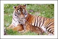 Tiger kuss Seine cub Diamant Stickerei 5D Malerei Kreuzstich Mosaik Muster Platz Strass hand geschenk Wohnkultur K440