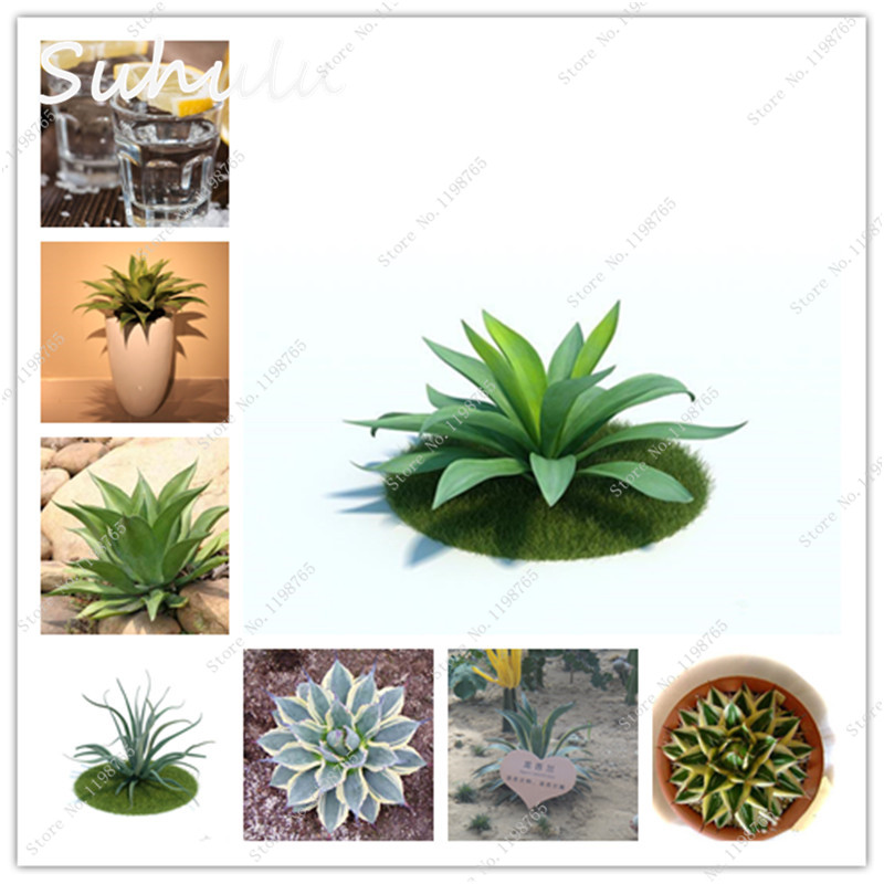 100 pcs 100% Genuine Rare Agave seeds Plant Dwaft Tree Herb Flower Seeds Succulent Plant Free Shipping Novel Cactus Seeds