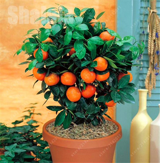 Citrus  Bonsai Mandarin Orange plants Edible Fruit Bonsai Tree Healthy Food Home Garden Easy To Grow 20 Pcs/bag